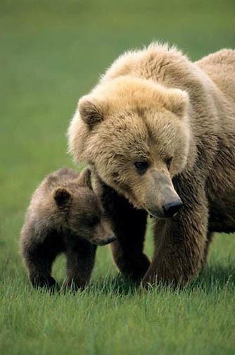 Alaskan Brown Bear, (Ursus middendorffi) Mother with cub. Katmai National Park. Alaska. Spring.