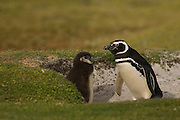 Magellanic Penguin (Spheniscus magellanicus) and chick<br /> Volunteer Point, Johnson's Harbour, East Falkland Island. FALKLAND ISLANDS.<br /> RANGE: Juan Fernandez Island in Pacific, Islands along coast of Southern Chile to islands off Cape Horn, South Atlantic coast of Argentina up to Valdez Peninsula and Falkland Islands.<br /> These penguins are migrants and breed in the Falklands. They are fairly widely distributed in the Falklands. They nest in burrows beneath tussock pedestals. Breeding begins mid October. Incubation is 38-41 days and young are fully moulted by late January. Adults will vacate the site after their moult in March. They feed extensively on schooling fish and squid.