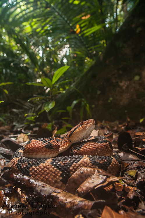 Bushmaster (Lachesis muta) in Kanuku Mountains, Guyana
