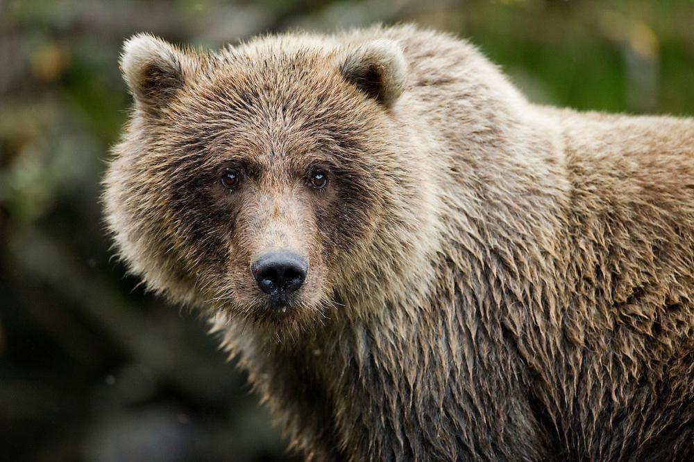 USA, Alaska, Katmai National Park, Close-up portrait of Coastal Brown Bear (Ursus arctos) standing in salmon spawning stream along Kuliak Bay