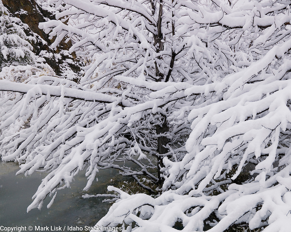 Juniper branches gather snow from an early winter storm along Cottonwood Creek in the Owyhee Canyonlands, Idaho.