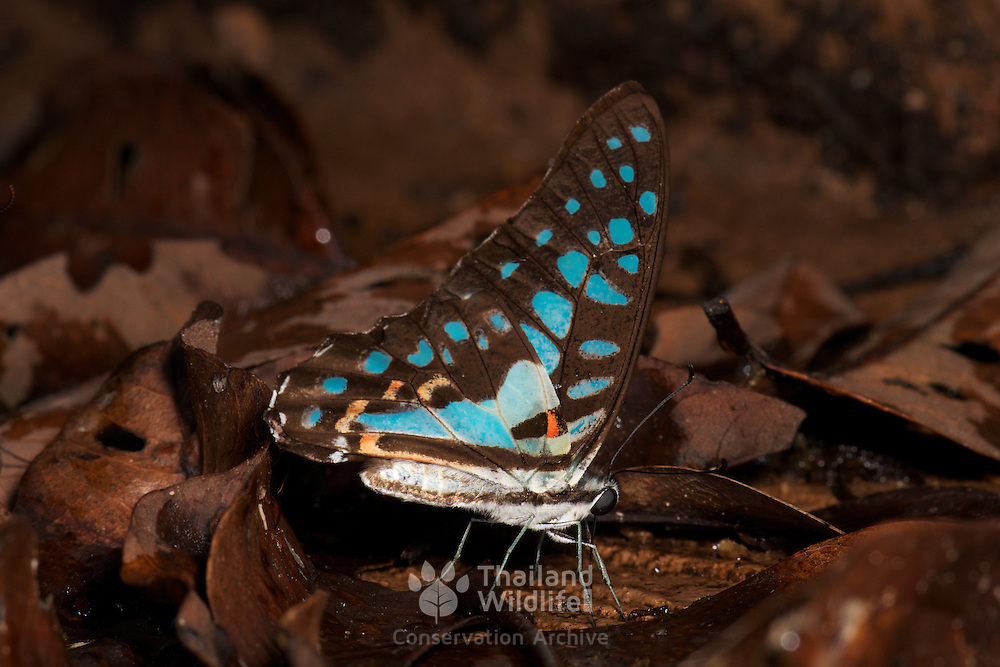 The Common Jay (Graphium doson axion) is a tropical papilionid butterfly with pale blue semi-transparent central wing bands that are formed by large spots.