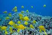 yellow tangs, Zebrasoma flavescens, swim across coral reef, Puako, Kona, Hawaii ( Central Pacific Ocean )