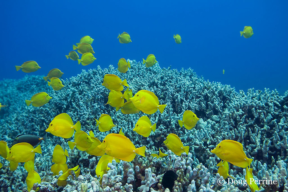 yellow tangs, Zebrasoma flavescens, swim across coral reef, Puako, Kona, Hawaii ( Central Pacific Ocean )