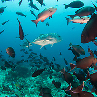 Giant Trevally, Caranx ignobilis, among school of Yellowmask Surgeonfish, Komodo Island, Indonesia.