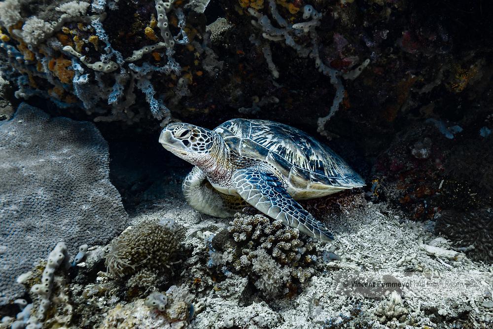 Green sea turtle-Tortue verte (Chelonia mydas), Nusa Penida island, Bali, Indonesia.
