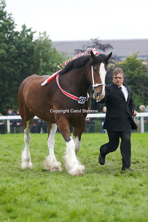 Mr K Harper's Bay Mare  Bradworth Olivia  Sired by Moorfield Ted