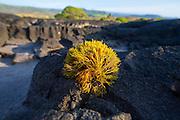 Limu, Kawa Bay, Kau, The Big Island of Hawaii