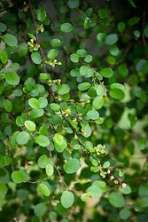 Muehlenbeckia complexa - Maidenhair vine.