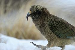 Kea (Nestor notabilis) Arthur's Pass, New Zealand | Kea oder Bergpapagei (Nestor notabilis); Der Kea ist gerne und gut zu Fuß unterwegs. Wie hier im Winter sucht er auf dem Boden nach Nahrung. Arthur's Pass, Neuseeländische Alpen, Neuseeland.