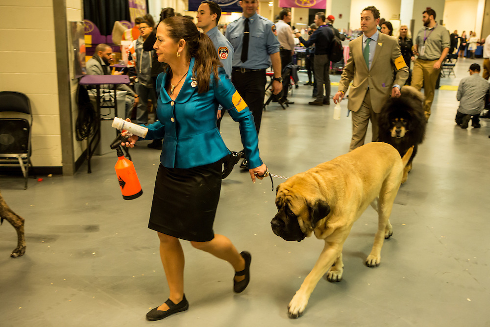 New York, NY - 16 February 2016. Handlers and their dogs leaving the benching area for the ring  at the 140th Westminster Kennel Club Dog show in Madison Square Garden.