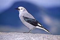 """Clark's Nutcracker, (Nucifraga columbiana) A 13"""" bird, gray with black wings and black central tail feathers. Prefers coniferous forest in western mountains of North America."""
