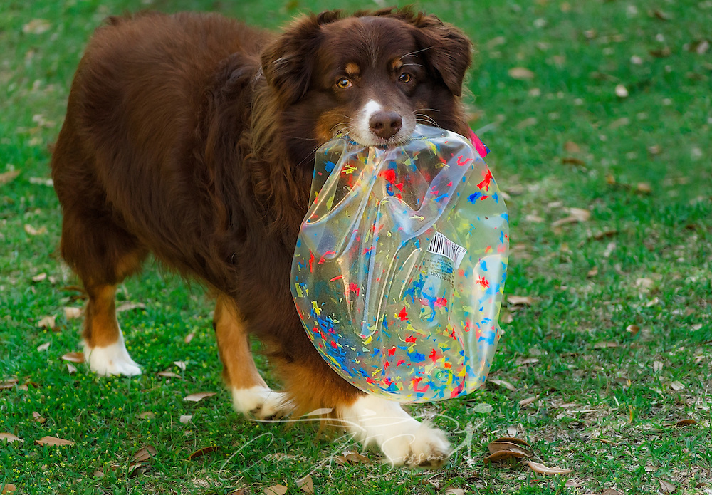 Cowboy, an eight-year-old red tri Australian Shepherd, carries a deflated ball after bursting it at his birthday party, April 4, 2016, in Coden, Alabama. (Photo by Carmen K. Sisson/Cloudybright)
