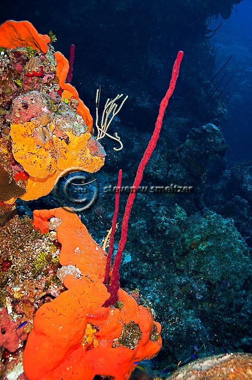 Elephant Ear Sponge, Agelas clathrodes, Row Pore Rope Sponge, Aplysina cauliformis, Grand Cayman