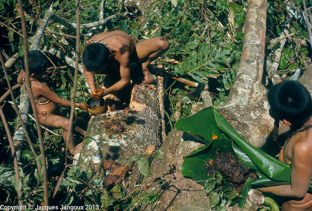 Subistence activity: use of natural products: honey collecting from beehive in felled tree in rainforest by Hoti (Hodi) Indians in Guiana Highlands of Venezuela, South America. A hole is carved in the felled trunk; the honey is squeezed in a calabash, and the other parts of the beehive are wrapped in a leaf of a plant of the Marantaceae family.