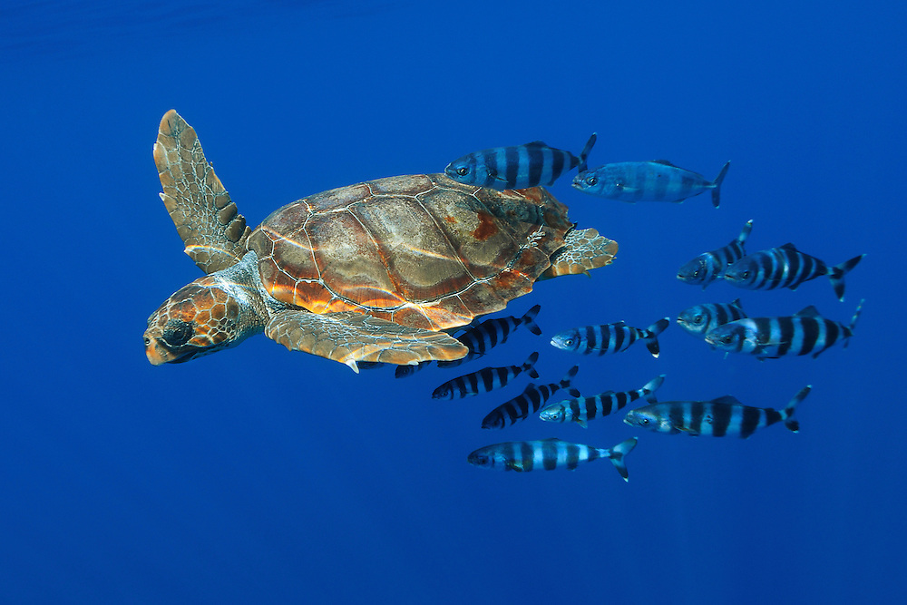 Loggerhead turtle, Caretta caretta, with a school of pilot fishes, Naucrates ductor<br /> Pico, Azores, Portugal