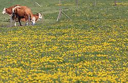 THEMENBILD - Kühe grasen auf einem Feld. Der Löwenzahn blüht in strahlendem gelb, aufgenommen am 02. Mai 2019, Kaprun, Österreich // Cows graze in a field. The dandelion blossoms in brilliant yellow on 2019/05/02, Kaprun, Austria. EXPA Pictures © 2019, PhotoCredit: EXPA/ Stefanie Oberhauser