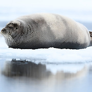 Bearded seal (Erignathus barbatus) sleeping on ice. The seal is positioned near water so it can slip in quickly if approached, such as by a polar bear.
