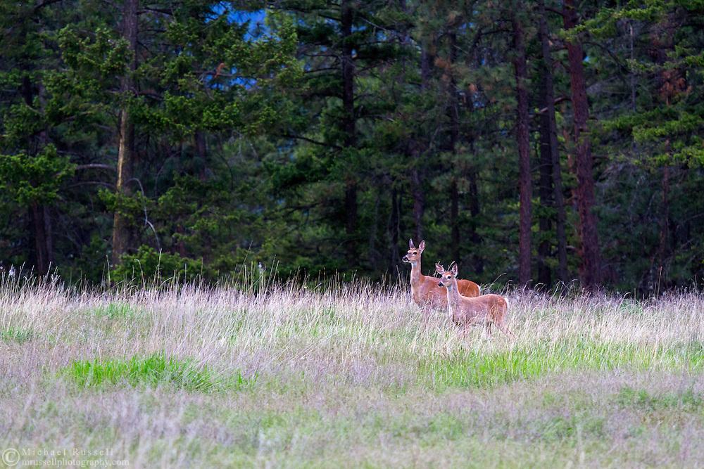 A pair of Columbian Black-tailed Deer (Odocoileus hemionus columbianus) standing in a field at Ellison Provincial Park near Vernon, British Columbia, Canada