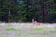 A pair of Columbian Black-tailed Deer (Odocoileus hemionus columbianus) standing in a field at Ellison Provincial Park near Vernon, British Columbia, Canada