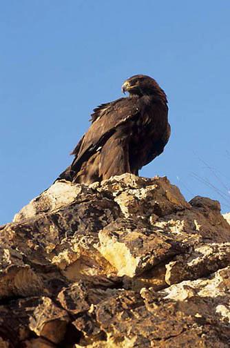 Golden Eagle, (Aquila chrysaetos)  Captive Animal.