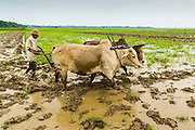 14 JUNE 2013 -  PANTANAW, AYEYARWADY, MYANMAR: A farmer uses oxen to till a rice field in the rain near Pantanaw, Myanmar. Most Burmese farmers still use oxen and water buffalo to work their fields. After decades of military mismanagement that led to years of rice imports, Myanmar (Burma) is on track to become one of the world's leading rice exporters in the next two years and could challenge traditional rice exporter leader Thailand. Political and economic reforms have improved rice yields and new mills are being built across the country. Burmese eat more rice than any other people in the world. The average Burmese consumes 210 kilos of rice per year and rice makes up 75 percent of the diet.   PHOTO BY JACK KURTZ