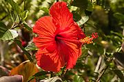 Hibiscus flower, Bali, Indonesia