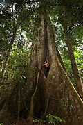 Kapok tree<br /> (Ceiba pentandra)<br /> Rewa River<br /> Rainforest<br /> GUYANA. South America