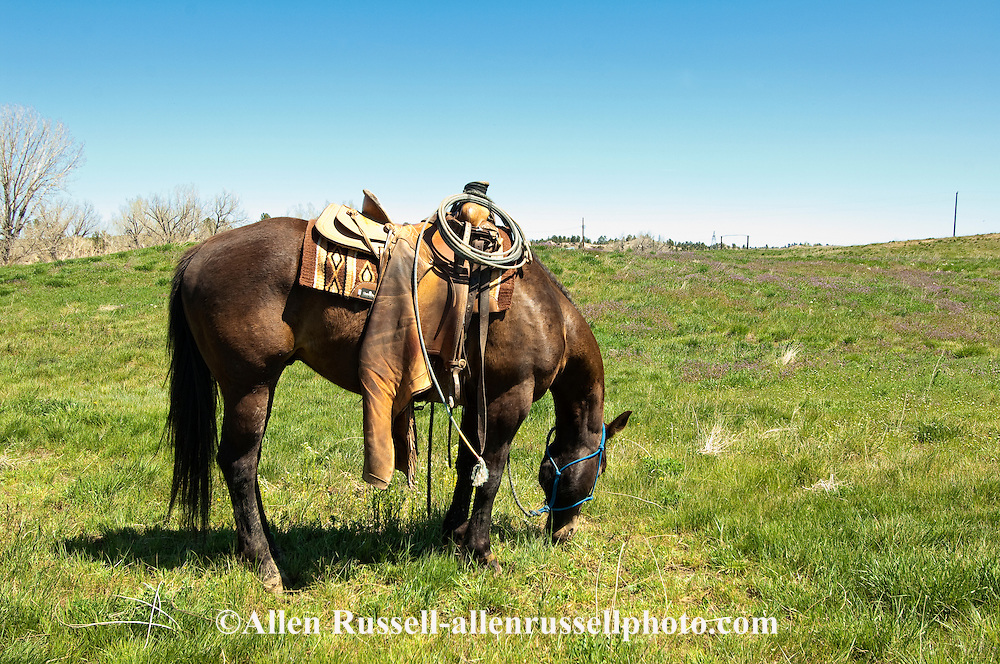 Quarter Horse (Equus caballus) hobbled at branding, eastern Montana