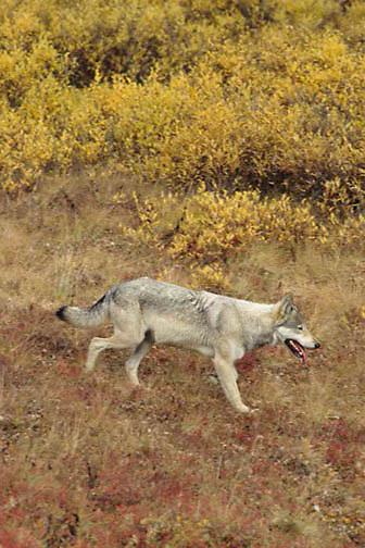 Gray Wolf, (Canis lupus) Hunting across tundra. Fall. Alaska.