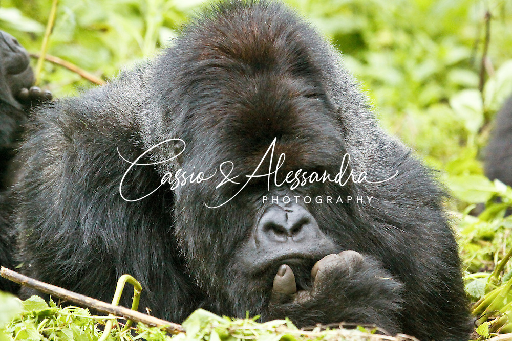 A silverback keeping his attention to his group/family, looking like he is deeply thinking about his problems and wondering what would be the future for the Mountatin Gorilla species.