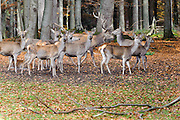 Rotwild, Tierfreigelände Neuschönau am Nationalparkzentrum Lusen, Nationalpark Bayerischer Wald, Bayern, Deutschland | red deer, animal enclosures Neuschönau at the National Park Centre Lusen, national park Bavarian Forest, Bavaria, Germany