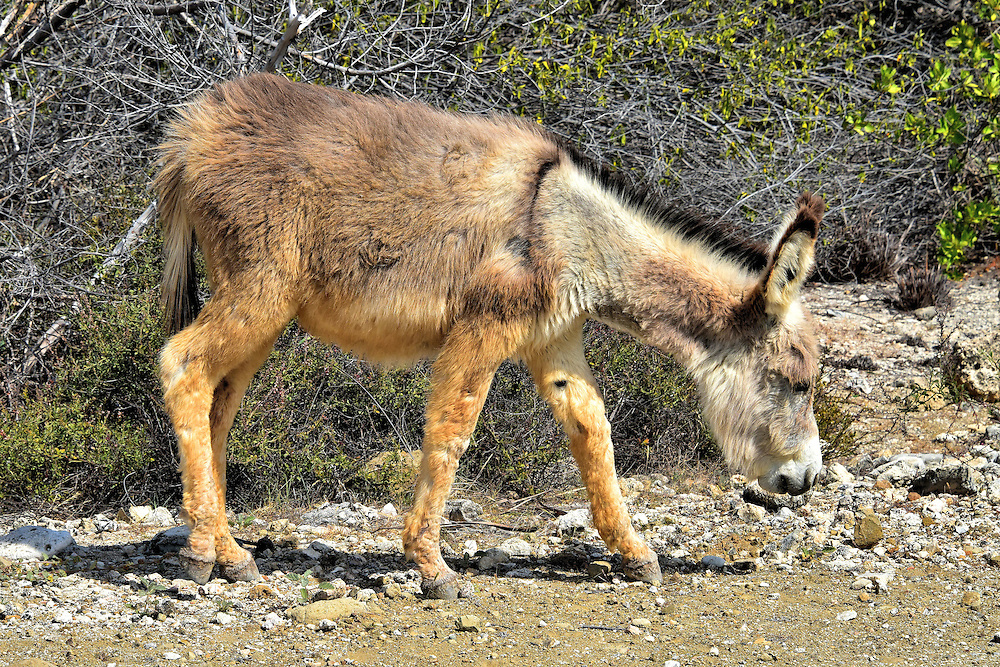 Wild Donkey South of Kralendijk, Bonaire<br />