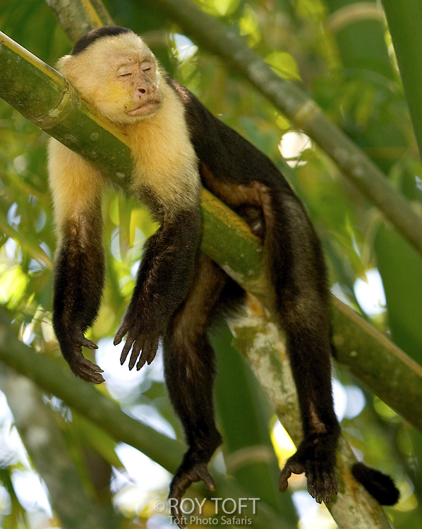 White Faced Capuchin Monkey (Cebus capucinus) sleeping on branch, Osa Peninsula, Costa Rica.