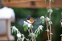 Spotted Towhee (Pipilo maculatus) perched in snow, Gabriola, BC, Canada