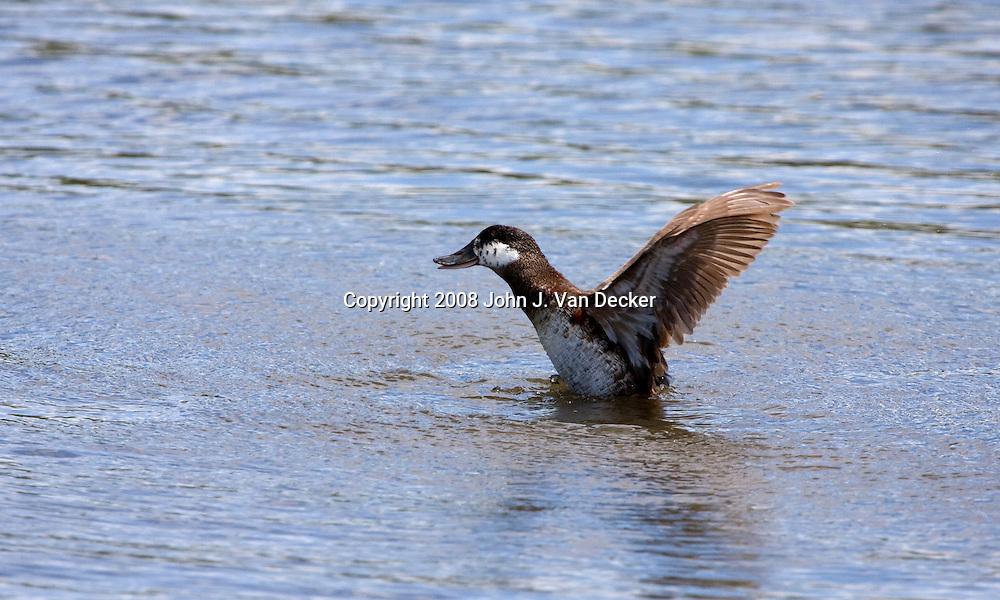 Ruddy Duck female taking off