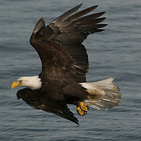 Bald Eagle in Flight over water in Homer, Alaska.