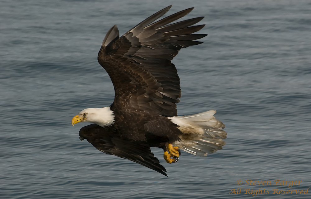 Bald Eagle in Flight over water in Homer, Alaska.