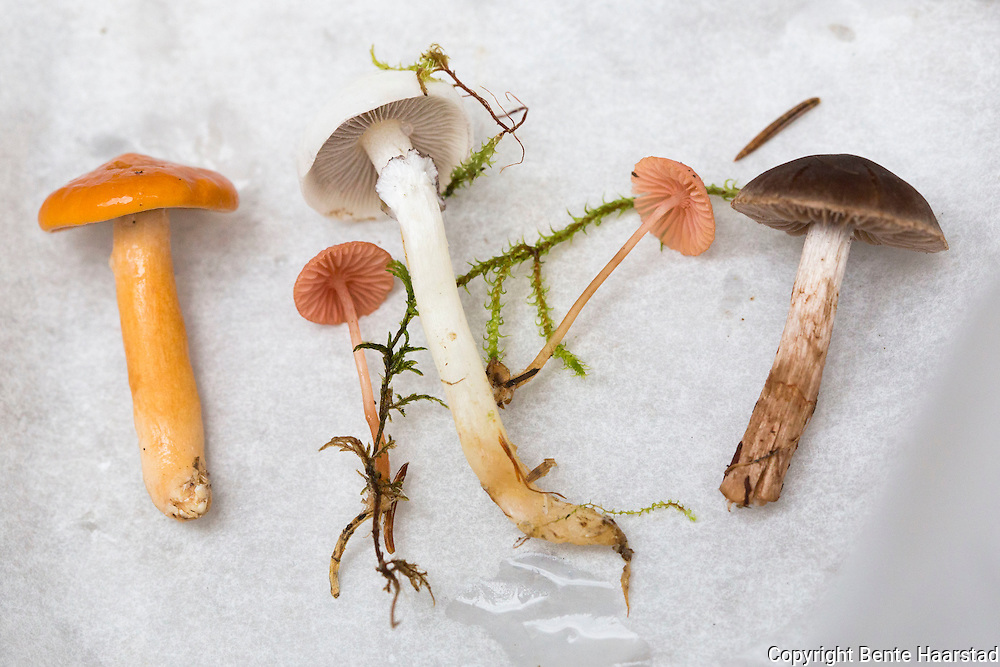 branngul riske, Lactarius aurantiacus, the Orange Milkcap, Brandriska, Orangeroter Milchling, Rosehette, Mycena rosella, en liten til mellomstor hettesopp med en nydelig rosa hatt og rød skiveegg.  Den har knapt noen forvekslingsarter. Rosehette vokser i barskog, ofte i store grupper i lyng og nåledekke. Den forekommer om høsten og er ganske vanlig over hele landet opp til Troms. Hatt klokkeformet til hvelvet, stripet, 0.5-1.5 cm. Ubetydelig lukt og smak. Uspiselig. Mycena rosella, commonly known as the pink bonnet, in the Mycenaceae family. Cap 5-20 mm, parabolical, convex to almost plane, with a small umbo or somewhat depressed, translucent-striate, bright pink, salmon pink to brownish pink, usually darker at the centre. Gills reaching the stem, dingy pink or pale pink, minutely punctate with reddish dots, the edge bright violet red or brownish red. Stem in young specimens dark brown at the apex and paler brown below, then reddish brown, becoming pale pink, yellowish pink to pale pinkish brown, the base densely covered with long, coarse, yellowish to whitish fibrils. Growing exclusively in coniferous woods, often in large groups on the needle beds. Autumn. Common all over Norway north to Troms.Den har knapt noen forvekslingsarter. Rosehette vokser i barskog, ofte i store grupper i lyng og nåledekke. Den forekommer om høsten og er ganske vanlig over hele landet opp til Troms. Hatt klokkeformet til hvelvet, stripet, 0.5-1.5 cm. Ubetydelig lukt og smak. Uspiselig. Mycena rosella, commonly known as the pink bonnet, in the Mycenaceae family. Cap 5-20 mm, parabolical, convex to almost plane, with a small umbo or somewhat depressed, translucent-striate, bright pink, salmon pink to brownish pink, usually darker at the centre. Gills reaching the stem, dingy pink or pale pink, minutely punctate with reddish dots, the edge bright violet red or brownish red.