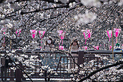 People look at the cherry blossoms in full bloom at Nakameguro in Tokyo on April 3rd. The cherry blossom season in Japan kicks off boozy parties across the country and draws tourists from far and wide. 03/04/2017-Tokyo, JAPAN