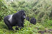 Mountain Gorilla<br /> Gorilla gorilla beringei<br /> Silverback with family in rain<br /> Parc National des Volcans, Rwanda