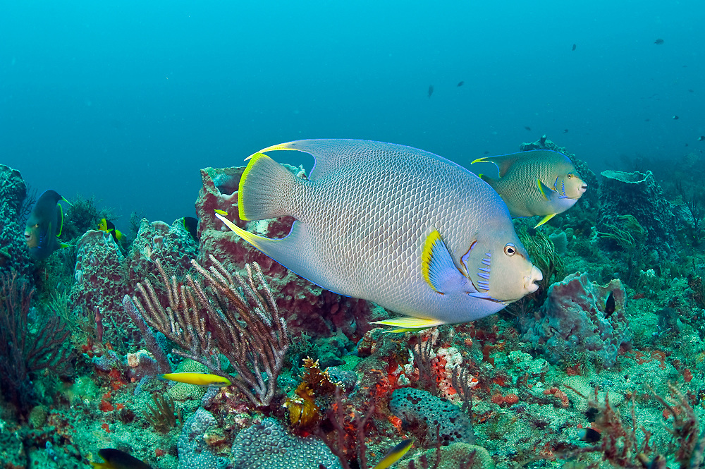 Blue angelfish, Holacanthus bermudensis, feed on sponges on the Breakers Reef offshore Palm Beach, Florida, United States.
