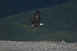 Bald Eagle (Haliaeetus leucocephalus) flying above a rocky beach along the Cook Inlet, Lake Clark National Park, Alaska, United States of America