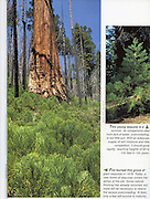 KC Publications, Sequoia Kings Canyon, The Continuing Story, firefighting, wildland fire, prescribed fire, Sequoia tree, Sequoia saplings,