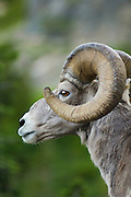 Bighorn Sheep at Logan Pass, Glacier National Park, Montana..