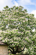 Catalpa tree, Indian Bean Tree, Catalpa Bignonioides, with blossom in summertime in Oxfordshire, UK