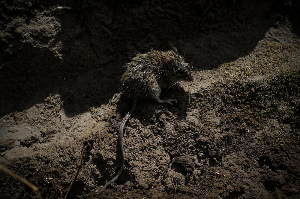 Un ratón quemado se esconde despues de resultar herido enun incendio forestal. Durante una sequía de dos meses, aproximadamente 2565 incendios forestales, (muchos presuntamente provocados) quemaron 3796 hectareas de bosques, algunas casas y muchos animales silvestres en las laderas boscosas que rodean Quito, la capital del Ecaudor.   Ningún humano murió, pero tomaran décadas antes de que las áreas afectadas se recuperen.
