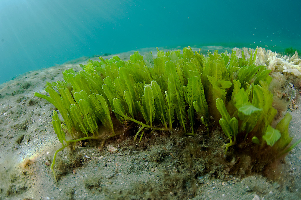 Green Feather Alga, Caulerpa sertularioides, grows on the bottom of the Lake Worth Lagoon in Singer Island, Florida.