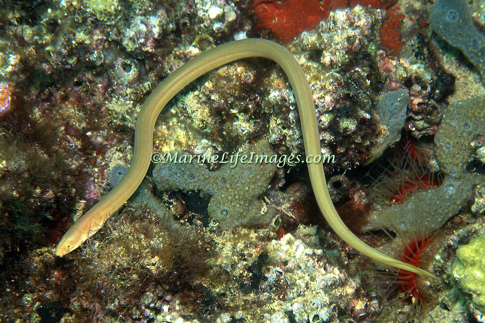 Key Worm Eel inhabit areas of sand and rocky and coral rubble; often bury with only head protruding in Tropical West Atlantic; picture taken Mocima National Park, Venezuala.