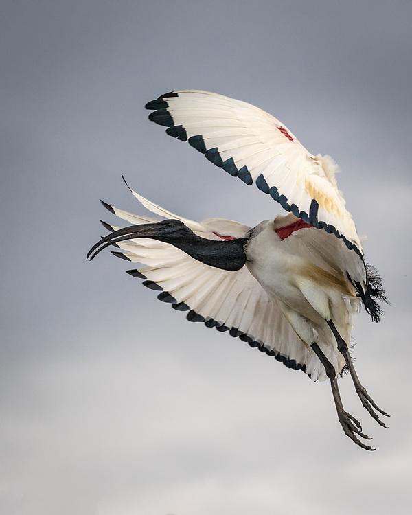 Threskiornis aethiopicus, South Africa